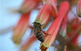 Пчела собирает мед, розовые цветы