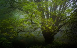 Preview wallpaper Big tree, green leaves, fog, morning