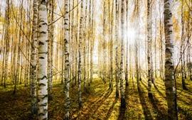 Aperçu fond d'écran Forêt de bouleaux, arbres, rayons de soleil, éblouissement, automne