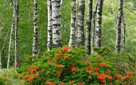미리보기 배경 화면 자작 나무, 진달래, 숲