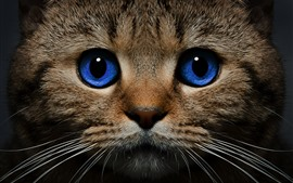 Blue eyes cat front view, face