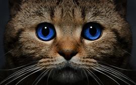 Голубые глаза кота, вид спереди, лицо