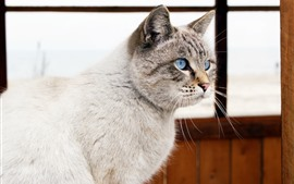 Blue eyes cat, room, window