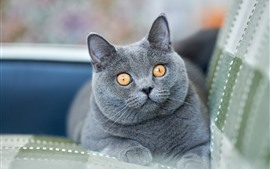 Preview wallpaper British Shorthair, gray cat, yellow eyes