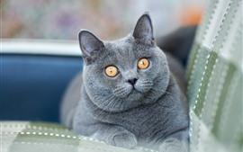 Shorthair britânico, gato cinzento, olhos amarelos