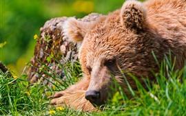 Urso pardo, cara, descanso, grama