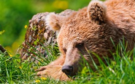 Aperçu fond d'écran Ours brun, visage, repos, herbe