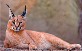 Preview wallpaper Caracal, ears, wildlife