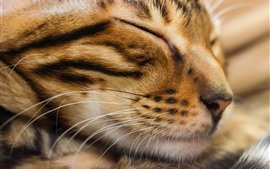 Preview wallpaper Cat sleeping, face, whisker