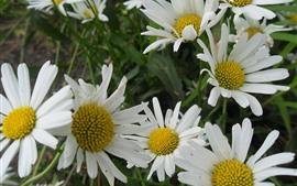 Camomila, flores brancas, primavera