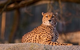 Preview wallpaper Cheetah look at you, rest, wildlife