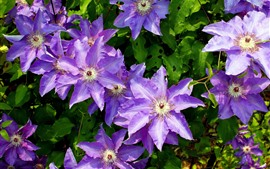 Preview wallpaper Clematis, purple flowers, green leaves