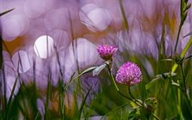 Flores de trébol rosa, brumosas.