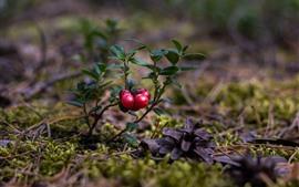 壁紙のプレビュー クランベリー、赤い果実、植物