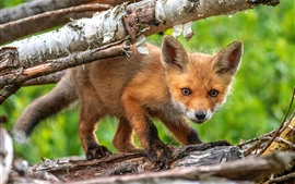 Preview wallpaper Cute fox cub, trunk