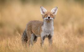 Милая лисица, взгляд вверх, трава, дикая природа