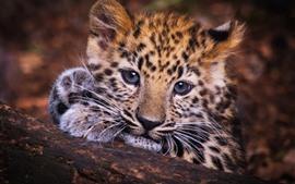 Lindo pequeño leopardo, mira, cara
