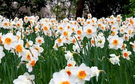 Narcisos, flores brancas