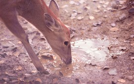 Deer drink water