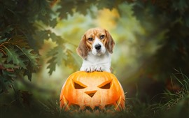 Dog and pumpkin lantern, Halloween