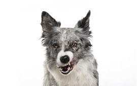 Dog front view, white background