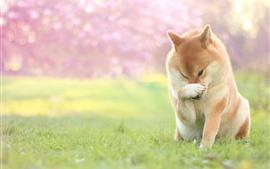 Собака, лапа, поза, трава