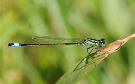 Dragonfly, grass leaf, green background