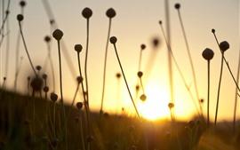 Dry grass, stem, sunset