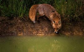 미리보기 배경 화면 연못 옆에있는 여우, 물