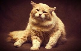 Gato peludo, naranja, vista frontal