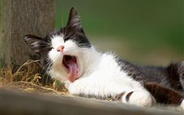 Bocejo gatinho peludo, dormir