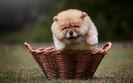 Preview wallpaper Furry puppy front view, basket, meadow