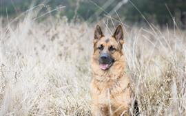 Немецкая овчарка, трава, крупный план животных
