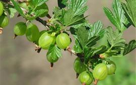 Grosella espinosa, fruta verde, hojas, ramitas.