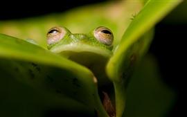 Зеленая лягушка, глаза, лист
