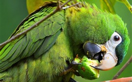 Preview wallpaper Green parrot eat fruit