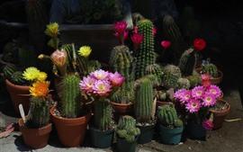 Plantas de casa, cactus, flores, espinas