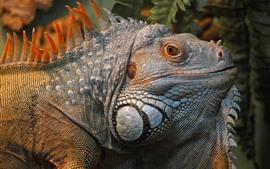 Iguana, lagarto, cabeça, olhos
