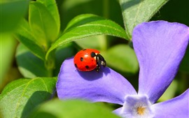 Preview wallpaper Ladybug, purple flower, green leaves