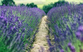 Preview wallpaper Lavender field, purple flowers, path