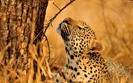 Preview wallpaper Leopard look up, tree, wildlife
