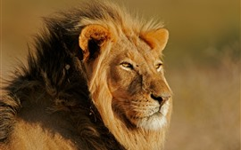Lion, look, wildlife, sunshine