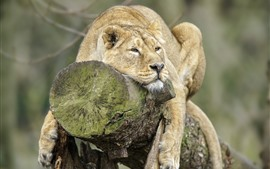 Preview wallpaper Lion, rest, stump