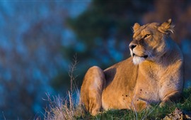 Preview wallpaper Lion rest, sunshine, look
