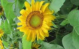 Lonely sunflower, yellow petals, green leaves