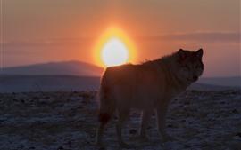 Lobo solitario mira hacia atrás, puesta de sol