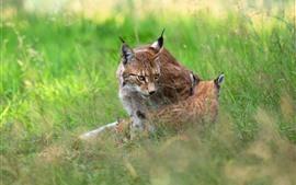 미리보기 배경 화면 살쾡이, 잔디, 야생 동물