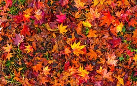 Many red maple leaves, ground, autumn