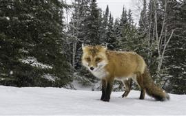Одна лиса, гуляет, зима, снег, деревья