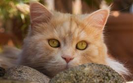 Gato laranja, rosto, olhos amarelos